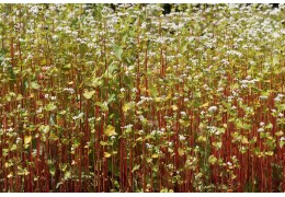 Why you shouldg grow buckwheat for bees?