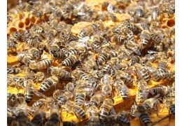 Honey Bee 's Life in the Hive