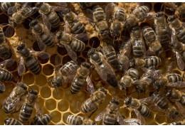 Combien de temps faut-il à une reine des abeilles pour pondre des œufs?