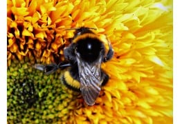 What Are Bumble Bees And Do They Make Honey?