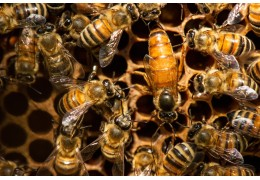 Unknown Facts About Queen Bees
